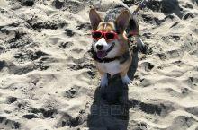 旧金山的柯基大聚会!每年10月左右在旧金山的西部海滩会举办柯基大聚会,有柯基赛跑、跨栏、奇装异服等竞