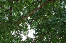 随州银杏树太美