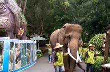景洪·西双版纳  野象谷。一进野象谷公园。迎面就看到大象排队表演。你看他们一个接一个。前面一个带队的