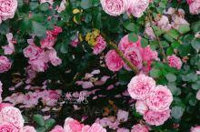 今年来得比往年早,赶上玫瑰季的尾巴,街头公园里的玫瑰就美到没朋友。最爱那一片粉紫色的,花瓣层层叠叠,