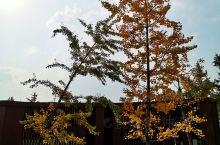 去的时候,天气还不算太冷,银杏叶子刚刚泛黄,十里银杏村很大的,游客也不少,这里交通和住宿都很方便的。