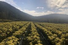 东至高山的菊花基地值得一游