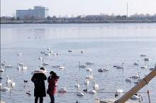美丽的大天鹅、荣成天鹅湖!