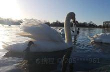 伦敦今天天气好晴朗,孩子路上照的伦敦海德公园的天鹅和花。天鹅展开的羽毛太美了,白色的羽扇显得非常纯净