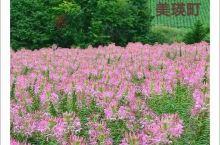 美瑛町被称为日本最美的村庄,特别是在繁花似锦的夏天。而四季彩之丘则被认为是逛美瑛町必造访的一个景点。