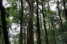 美丽的热带雨林!蒙特维多云雾森林保护区,震撼的自然景观!这里的参天大树是非常有社会责任感的,浑身上下
