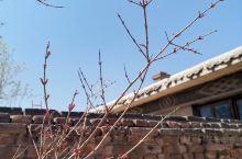 家里的果树发芽了