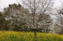 鼋头渚景区里樱花谷中,樱花和油菜花的组合,也堪称一绝