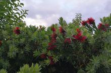 怀卡托大学的花