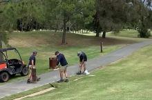 高尔夫球场的草坪休整工作随时都在进行。 球场上的工作人员正在铺草中……