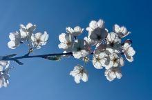 温哥华的樱花季