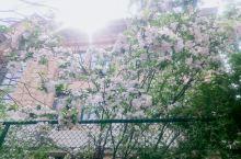 四月初的天津,正好是海棠花盛开的时节,随风飘落的海棠花瓣撒落一地。漫步五大道,听着歌,沿着道路寻觅属