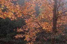 美丽的德保红叶森林公园  2014年12月29日,我和两位高中老同学自驾到德保,特意来到红叶森林公园