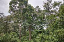 景迈山茶树林