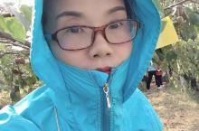 在渡江采摘猕猴桃