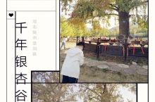 百年胡杨,千年银杏。 我大湖北也有媲美额济纳胡杨林的金秋之境。在随州洛阳镇山谷深处,有这一方净土。千