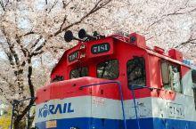 樱花不止日本有,韩国釜山镇海也不错,机票和酒店便宜一半。