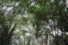 """瑞丽市320国道勐卯镇芒令村之""""独树成林""""枝叶茂盛、郁郁葱葱、高耸挺拨。大榕树除主干外还从枝干上生长"""