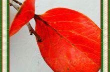 """金秋华美,火红的树叶吸收了天地之精华,越加魅力无限!此时,所有的文字都无法复制""""一叶知秋""""的名分!"""