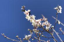 川见町秋樱与红枫同美。名古屋丰田市川见町是日本唯一一个可以在秋季同时欣赏樱花和红枫的地方。地处偏远,