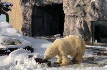 强烈推荐北海道的旭川网红动物园,绝对值得一来的地方,里面的动物感觉养的都很有精神,而不是卧在那里一动
