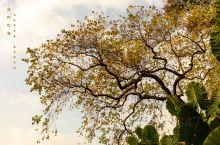 冬叶之美! 己亥年二十九,三水长岐古村,游人稀少,后山的一棵黄桕树叶在夕阳下熠熠发光。气温26度,这
