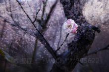 滨江小区人工湖边,每年雨水节气到来,湖边的梅花争相开放,暗香浮动
