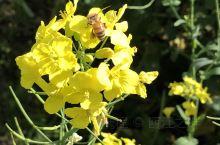 冬去春来,阳春三月,春光明媚,百花齐放,遍野金黄色的油菜花盛开,俨然是一幅沁人心脾的图画。这就是离市