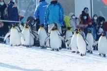 旭川的旭山动物园,企鹅散步是亮点,其它动物也都很有意思