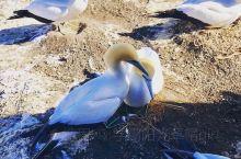 最美塘鹅栖息地 来新西兰就是为了更大自然更亲近。位于奥克兰的塘鹅栖息地是个不错的观鸟地。四季不同时期