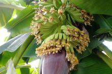 开花的香蕉,不打药的青菜!