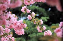 #西安赏花季#西安赏花季来啦! 每年的三四月这个时候,西安各处的樱花梨花都争相绽放,古城无处不飞花;