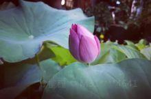 荷塘里的莲花