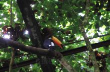 巴西国鸟巨嘴鸟又名大嘴鸟,体长约67厘米,嘴巨大,长约17~24厘米,宽约5~7厘米,非常呆萌可爱,