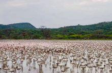 【火烈鸟】 肯尼亚🇰🇪博格利亚湖是东非大裂谷众多咸水湖中的一个,湖水富含碳酸钙,盛产蓝藻和矽藻,而这