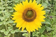 额尔古纳市上护林路边风景,向日葵