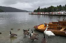 温德米尔湖游船,到鲍内斯小镇,天鹅很可爱,会互动