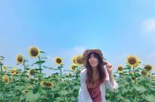 在深圳拍出日系风|秋天里来一场属于南方的向日葵盛宴  教科书告诉我,秋天有金黄色的落叶和水稻田,向日