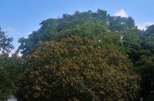 白塘植物园之秋,桂花飘香。春夏秋冬4岛未全部走过,午间附近上班的人来散步的不少。