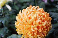 开封菊展  主会场龙亭公园赏菊。群芳斗艳的各种菊花,令人眼花缭乱,还是单独拎出来能凸显美,一枝独秀啊