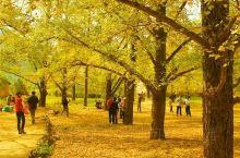 """探秘""""天下银杏第一乡""""  ——海洋乡   海洋银杏林位于桂林灵川县海洋乡境内。林区有银杏树100万"""