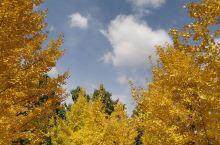 满园银杏落秋风。金城金秋,美得让人窒息。