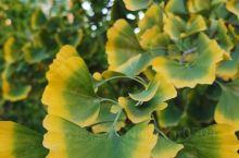 银杏的叶子仿佛镶了条金边。多像少女的舞裙。
