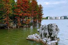 初冬的靖江依然天蓝云白,彩叶装点。 由长江浪花捧起的牧城公园,拥有千亩苍茫森林,是长江下游最大的滨海