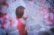 亮点特色: 来大理大学看樱花吧  大理大学  推荐理由: 大理的樱花有两季,冬樱盛开时间为每年11底