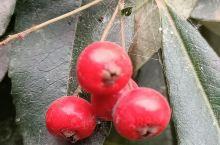 火棘,又称台湾红果。因其具有花朵洁白、果实大红的特性,是一种极好的春季看花、冬季观果的绿化植物。