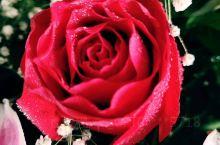 清晨玫瑰就像羞答答小伙