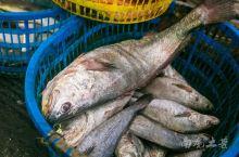 天没亮就到嵊山渔港码头数海鲜,比目鱼、鮸鱼、海鲈鱼、河豚鱼、海鳗鱼、、、你还认识哪几种鱼虾?那条鱼是