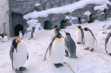冬季的北海道让你觉得流连忘返的不仅仅是美丽的景色,还有旭山动物公园里可爱的小企鹅不用到遥远的南极也能