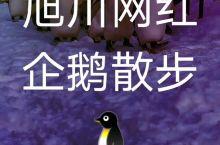 企鹅散步‖一场在旭川动物园上演的事故百出的大戏 坐标:  北海道·日本   旭山动物园    主角:
